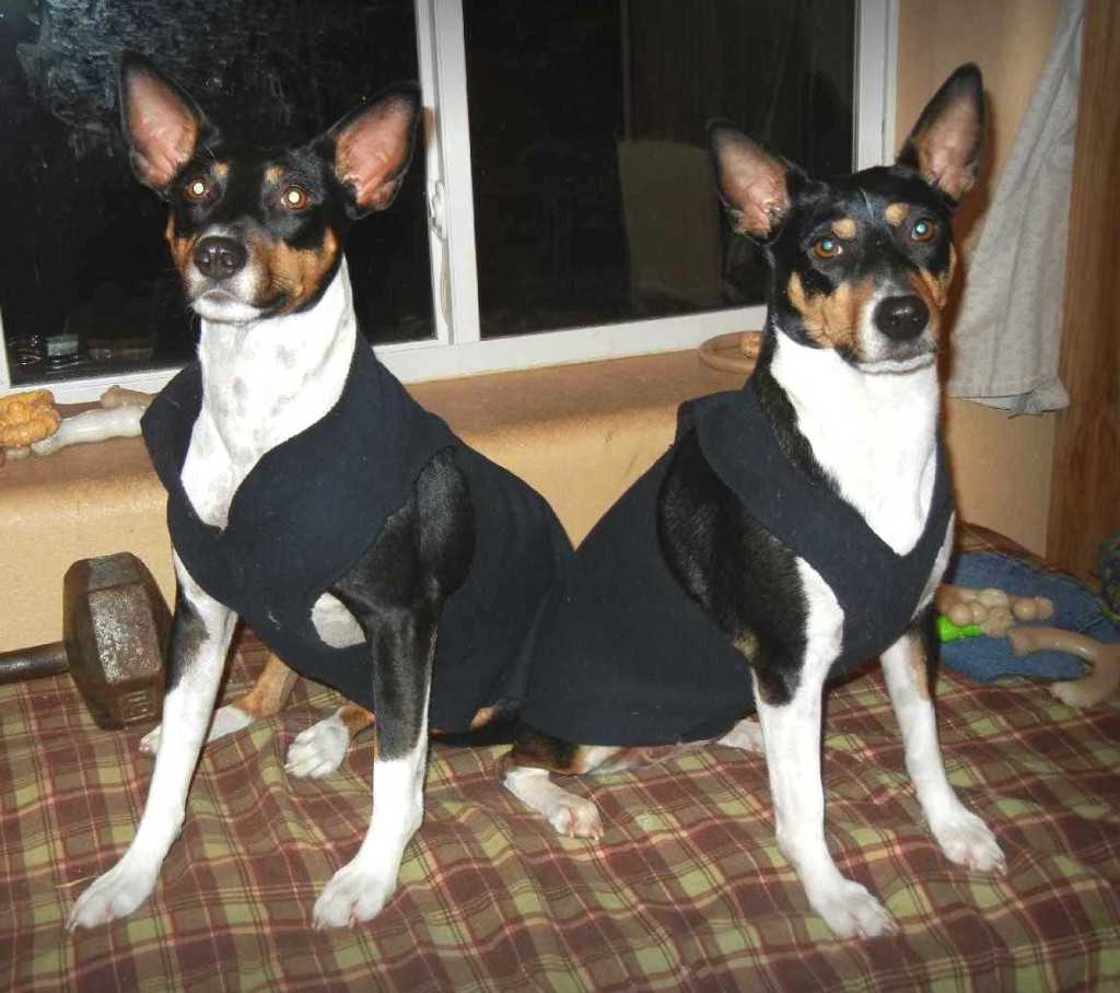 Rat Terriers in sweatshirts