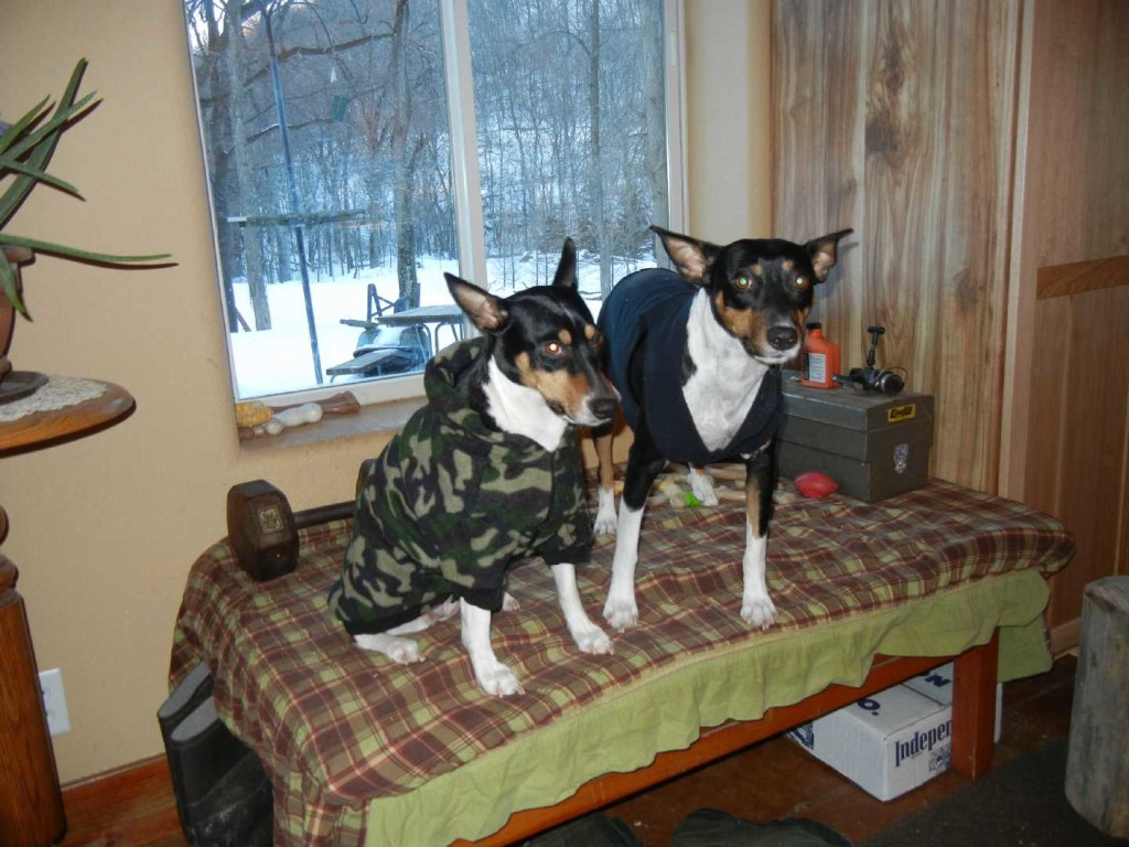 Rat terriers with coats on.